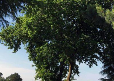 Taille d'éclaircie sur chêne à Guérande