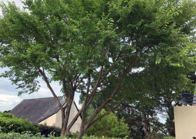 Taille d'éclaircie Quimiac sur orme et eucalyptus