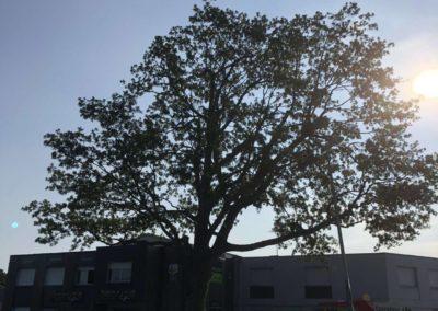 taille d'éclaircie sur chêne mesquer