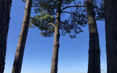 ces arbres traversants le temps