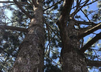 éclaircie sur groupement de pin et cèdre